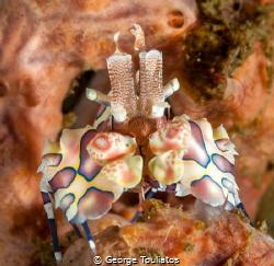 Harlequin shrimp!!! by George Touliatos