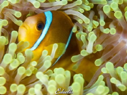 Anemone fish, always gorgeous by Eduard Bello