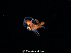 Larval blanket octopus shot at 7m depth, bonfire diving i... by Corrine Allas