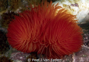The brilliant colors of a feather duster worm by Peet J Van Eeden