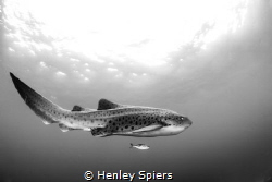Leopard of the Ocean by Henley Spiers