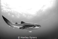 Leopard of the Ocean by Henley Spiers