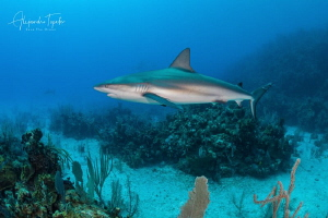 Shark on the Reef, Gardens of the Queen Cuba by Alejandro Topete