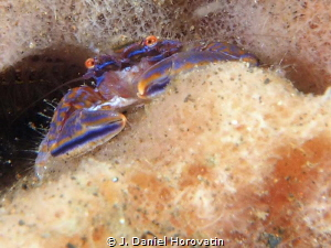 tiny crab that I have not been able to identify. by J. Daniel Horovatin