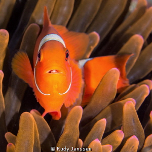 Tomato clownfish with parasite by Rudy Janssen