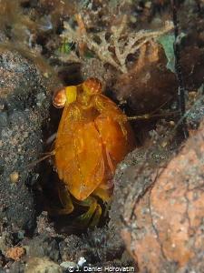 golden mantis shrimp by J. Daniel Horovatin