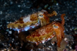 What a pair... of Cuttlefish that is. by Stephanie Doniger
