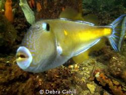 Leather-jacket Fish Edithburgh Jetty South Australia by Debra Cahill