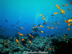 When your view is fogged by the red of the anthias could ... by Svetoslav Dimitrov