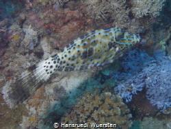 Scraweled Filefish - Aluterus scriptus by Hansruedi Wuersten