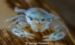 Porcelain Crab!!! by George Touliatos