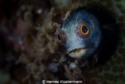 Blenny Supermodel by Hannes Klostermann
