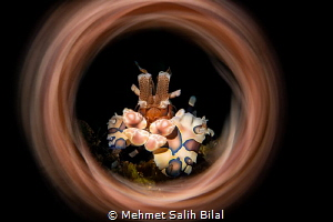 Harlequin shrimp. by Mehmet Salih Bilal