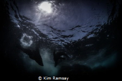 TANGO A pair of Australian fur seals frolic in the sunli... by Kim Ramsay
