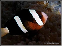 Another common Perhentian sighting is the Clarks anemone ... by Yves Antoniazzo