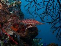 Long nose hawk fish Bali by Brad Cox