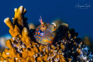 Blenny with blue, Plataforma Tiburon México by Alejandro Topete
