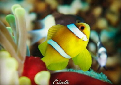 Always around and beautiful, anemone fish. by Eduard Bello