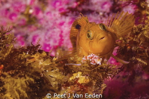 Colorful Klipfish meets Purple Lady Nudibranch by Peet J Van Eeden