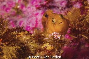 Colorful Klipfish meets Purple Lady Nudibranch by Peet J Van Eeden