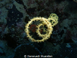 Spiral Coral - Stichopathes sp by Hansruedi Wuersten