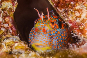 Blenny with colors, Plataforma Tiburon México by Alejandro Topete