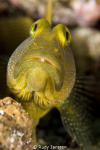 The Yellow Watchman Goby by Rudy Janssen