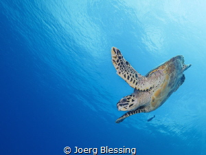 Hawksbill turtle diving. by Joerg Blessing
