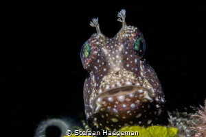 Starry Blenny by Stefaan Haegeman