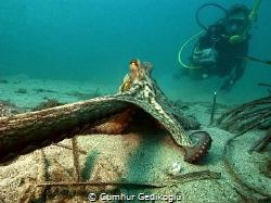 Octopus vulgaris Oops!Leave my camera by Cumhur Gedikoglu
