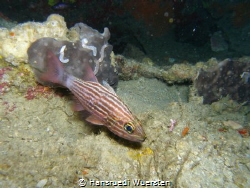 Tiger Cardinalfish - Cheilodipterus macrodon by Hansruedi Wuersten