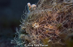 Hairy Frogfish in Lembeh by Anna Ewa Manzel