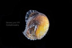 Argonauta hians - Paper Nautilus  Blackwater by Wayne Jones