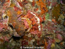 Tasseled Scorpionfish - Scorpaenopsis oxycephala perfect... by Hansruedi Wuersten
