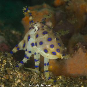 Bluering octopus by Rudy Janssen