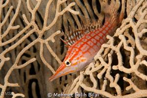 Longnose hawkfish. by Mehmet Salih Bilal