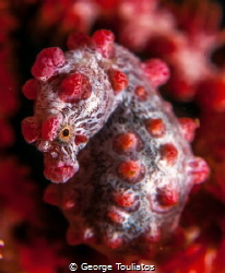Pygmy Seahorse!!! by George Touliatos