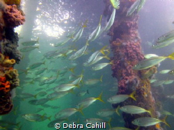 Schooling Yellow-tail  Fish Edithburgh Jetty South Australia by Debra Cahill