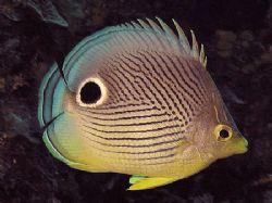 Foureye Butterfly Fish. Roatan, Honduras Olympus C-770 by Lisa Armstrong