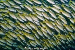 Traffic Buestripe Fish, Raja Ampat by Wawan Mangile