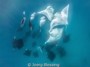 Mantas feasting on plankton at Hanifaru Bay. by Joerg Blessing