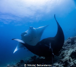 Dancing mantas in Maldives near island Dhigurah. by Nikolaj Bekarslanov