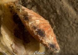 Weide mantel, aecuipecten opercularis by Eduard Bello