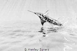 Flying Fish by Henley Spiers