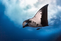 A Giant Pacific Manta Ray glides with ease underneath the... by Nick Polanszky