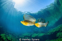 Sailfin Molly Scrap by Henley Spiers