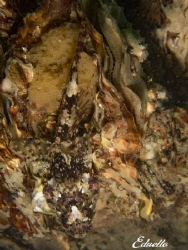 Groene zeedonderpad, Enophrys Bubalis with nest. Cold wat... by Eduard Bello