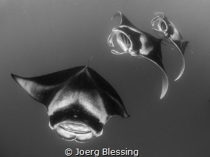 "3 Mantas ""chain feeding"" at Hanifaru Bay by Joerg Blessing"