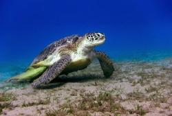 Sea turtles on Abu Dabbab Beach. by Sergey Lisitsyn