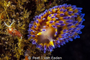 The meeting: Orange-eyed Nudibranch and Gas flame nudibranch by Peet J Van Eeden